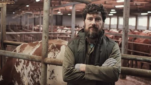 Man Posing in Barn Crowded with Cows