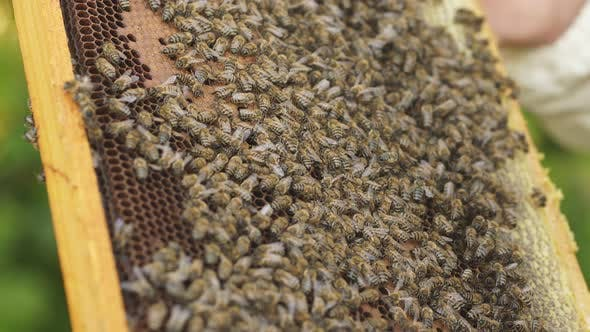 Close-up of Bees on Honeycomb in Apiary. Apiculture. Natural Product.
