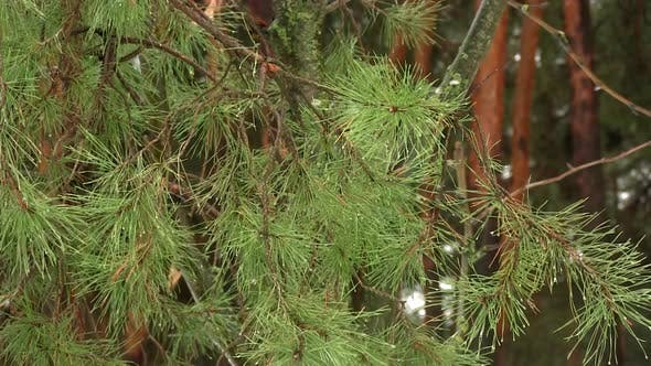 Thumbnail for Green Branch Of A Pine-tree In Frosty Weather