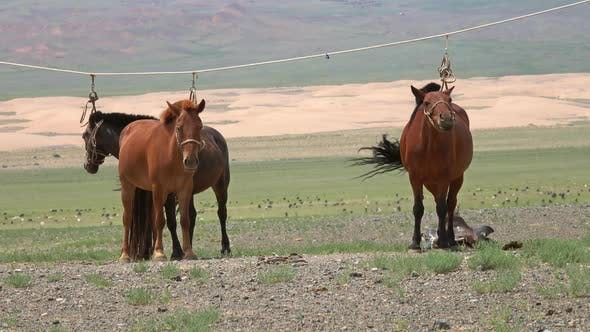 Cover Image for Mongolian Horses Tied on Rope Holder
