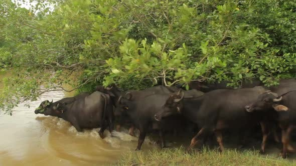 Thumbnail for Animals of Sri Lanka. Buffalos in the Lake