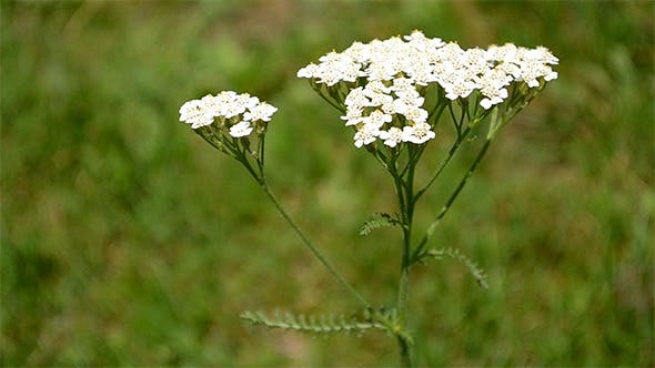 Cover Image for Yarrow Flower
