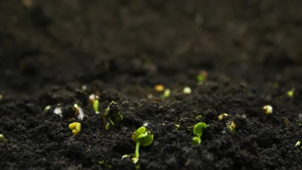 Farming Timelapse of Growing Plants, Sprouts Germination, Newborn Agriculture