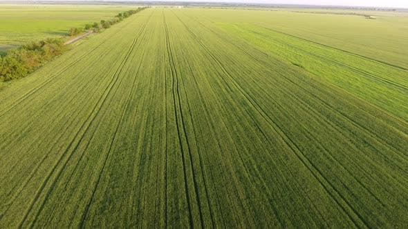 Cover Image for Aerial of the Boundless Green Wheat Agro Area From a High Flying Drone in Summer