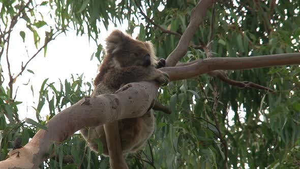 Thumbnail for Koala with itchy fur hanging in a tree