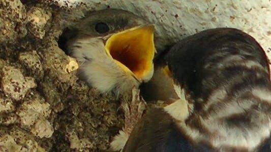 Thumbnail for Mother Bird Feeding Baby birds