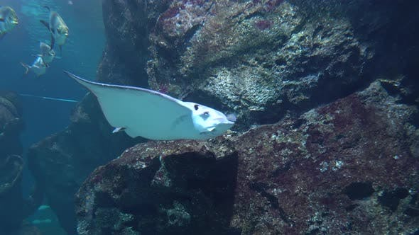 Thumbnail for Large Stingray Gracefully Floating Over the Ledges of Underwater Rocks in Clear Water