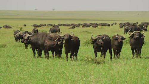 Herd of Cape buffalos