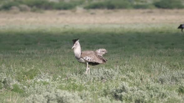 Kori bustard the largest flying bird