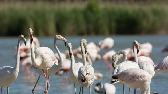 oiseau flamant nature réserve carmargue lagon