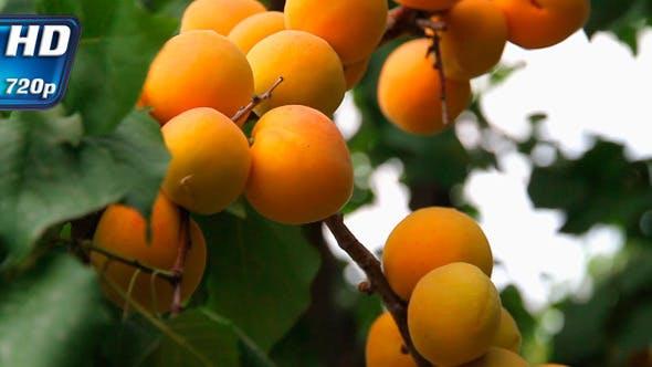 Thumbnail for Apricot Harvest