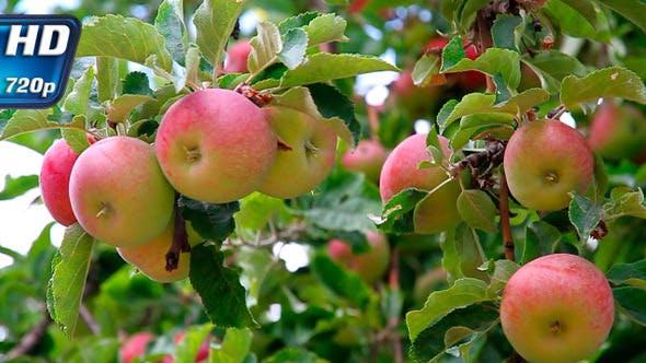 Thumbnail for Apple Harvest