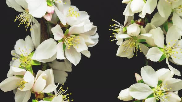 Cover Image for Almond Blossom Timelapse