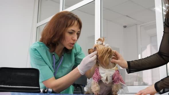 Veterinarian Examine Yorkshire Terrier in Clinic