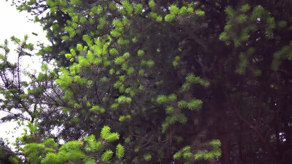 Thumbnail for Branches Green Spruce