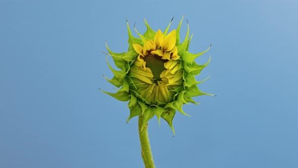 Thumbnail for Sunflower Head Opening Timelapse on Blue