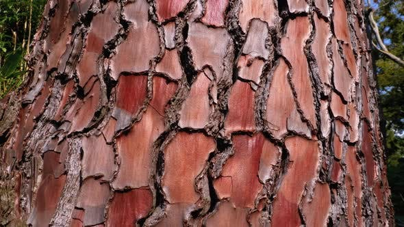 Thumbnail for Texture of Pine Tree Bark on Trunk in the Forest. Pinus Pinaster. Seaside Pine Bark