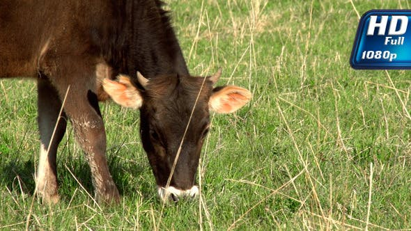 Calf On A Meadow
