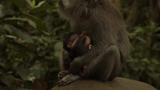 Close Up of Two Baby Monkeys Nursing in the Lap of Female Macaque Monkey in Ubud Monkey Forest