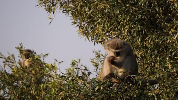 Thumbnail for Vervet monkeys in a tree