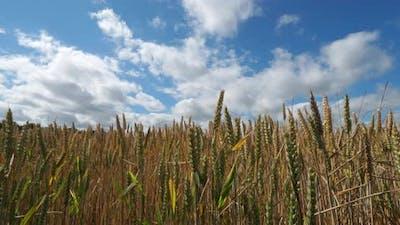 Wheat field in Loiret, France
