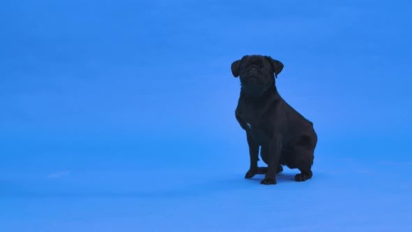 A Funny Cute Black Pug Sitting with His Head Up and Barking