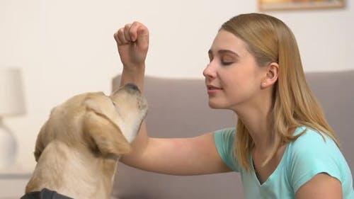 Caucasian Young Woman Training Labrador Dog Perform Commands, Pet Discipline