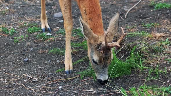 Young Brown Deer Eating Grass at the Zoo