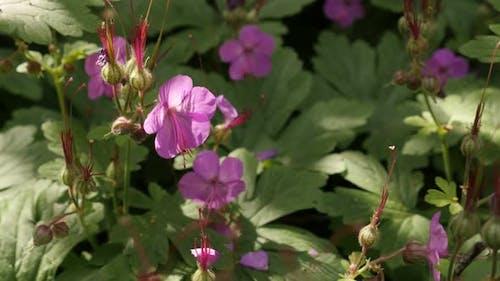 Geranium macrorrhizum herbal plant close-up 4K 2160p 30fps UltraHD footage - Pink rock cranes-bill f