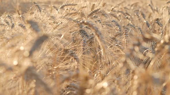 Thumbnail for Wheat 2