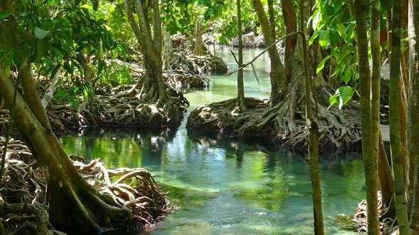 Thumbnail for Tha Pom Mangrove Forest and Creek in Thailand