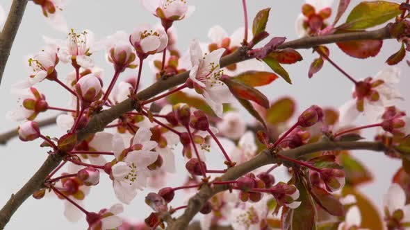 Cover Image for White Cherry Tree Flowers Blossoms