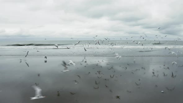 Thumbnail for A flock of seagulls flying over the beach in South America