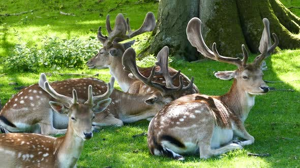 Thumbnail for Herd of deers laying next to a tree