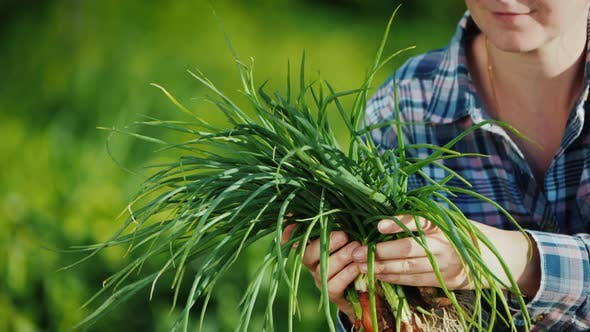 Cover Image for Farmer's Hands Are Holding an Armful of Green Onions Just Cut From the Garden