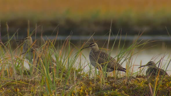 Thumbnail for Whimbrel Several in Autumn in Alaska