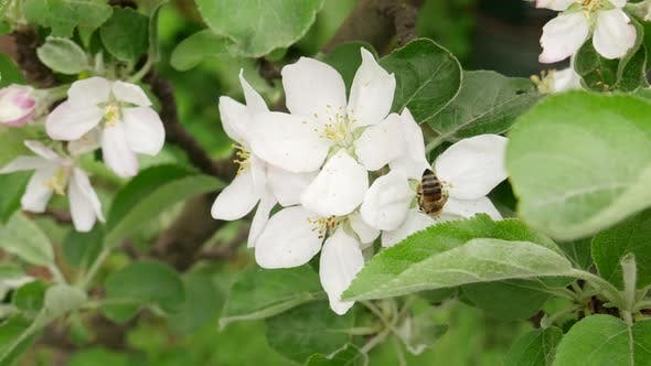 Honey Bee Pollinating Apple Blossoms