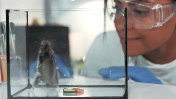 Black Research Scientist in Safety Eyeglasses Observing the Hamster Behavior Aften Eaten Vegetables