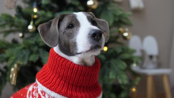 Close Up of Adorable Doggy in Knitted Red White Sweater in Front of Spruce Tree with New Year
