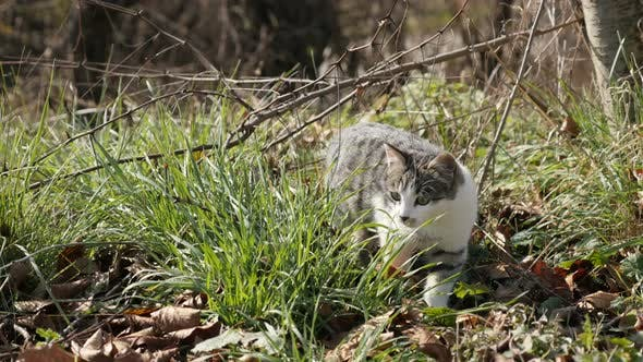 Thumbnail for Felis catus domestic pet sneaks in the grass 4K 2160p 30fps UHD footage - Young gray and white colou