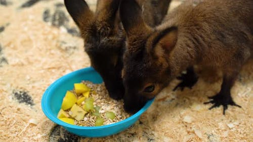 Two Kangaroos in the Corral of the Zoo Eat Food.