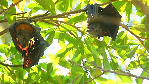Cover Image for Flying Foxes