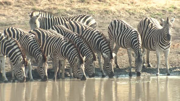 Thumbnail for Burchell's Zebra Adult Herd Many Drinking Water Dry Season in South Africa