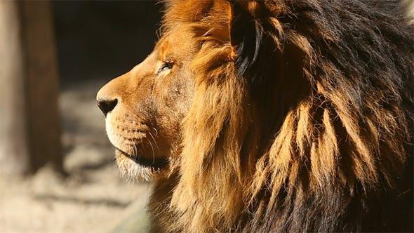 König der Bestien