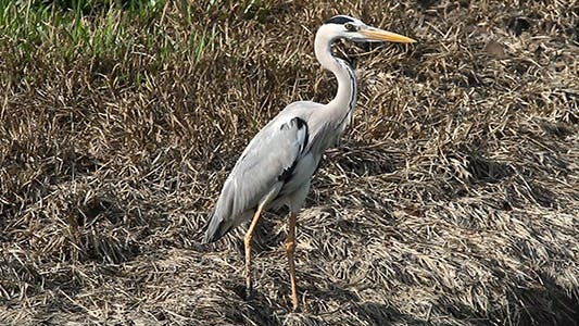 Thumbnail for Grey Heron (Ardea Cinerea) Preening