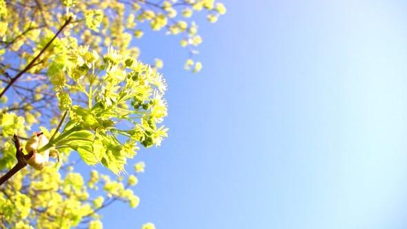 Thumbnail for Flower Maple