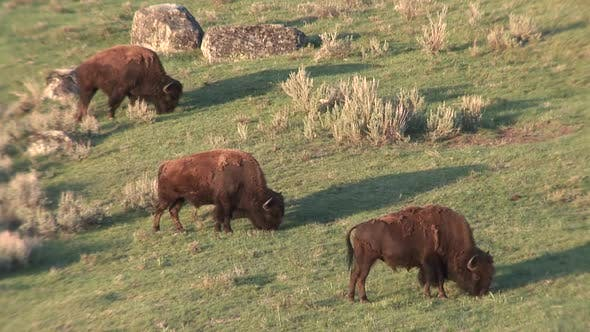 Thumbnail for Bison Bull Adult Several Eating Grazing in Spring Dawn Morning Green Grass