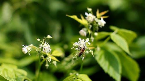 Bee On A Blossom Rapsberry Flower Macro