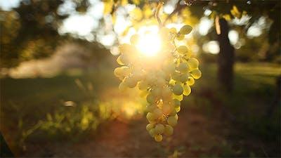Grapes 1