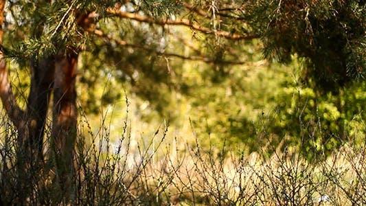 Thumbnail for Dry Stalks In Pine Woods